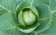 Χυμός λάχανου: Ένα
