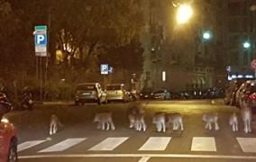 Ιταλία: Αγριογούρουνα σουλατσάρουν σε κεντρικό δρόμο (φώτο)