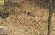 Βίντεο-σοκ: Τίγρης κατασπαράσσει άνδρα μπροστά στη γυναίκα και το παιδί του