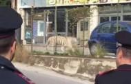 Βίντεο: Λευκή τίγρη της Σιβηρίας «το έσκασε» από τσίρκο και έκοβε βόλτες στη Σικελία