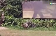 Αφηνιασμένη ζέβρα δαγκώνει και σέρνει για μέτρα υπάλληλο ζωολογικού κήπου
