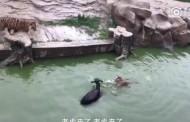Βίντεο: Εισέβαλαν σε ζωολογικό κήπο, «έκλεψαν» γάιδαρο και τον τάισαν ζωντανό σε τίγρεις!