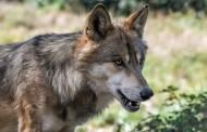 Γερμανία: Διακοπές, πεζοπορία, τζόκινγκ! Τι να κάνετε εάν συναντήσετε έναν λύκο στο δάσος