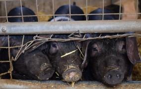 Γερμανία: Στη φυλακή κτηνοτρόφος που βασάνιζε ζώα με βαριοπούλα