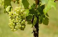 Ρεκόρ στην παραγωγή οίνου καταγράφει η Γερμανία το 2018
