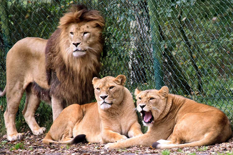 Γερμανία: Παρολίγον τραγωδία - λιοντάρια επιτέθηκαν σε υπάλληλο ζωολογικού κήπου